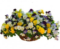 CoolWavePansyHangingBasket-FlowerFundraiser