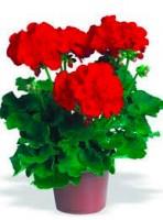 Geraniums-FlowerFundraiser