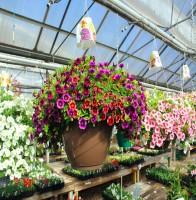 MixedAnnualHangingBasket-FlowerFundraiser