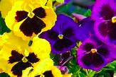 Pansy4pack-FlowerFundraiser