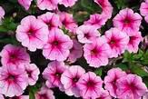 Petunias4pack-FlowerFundraiser